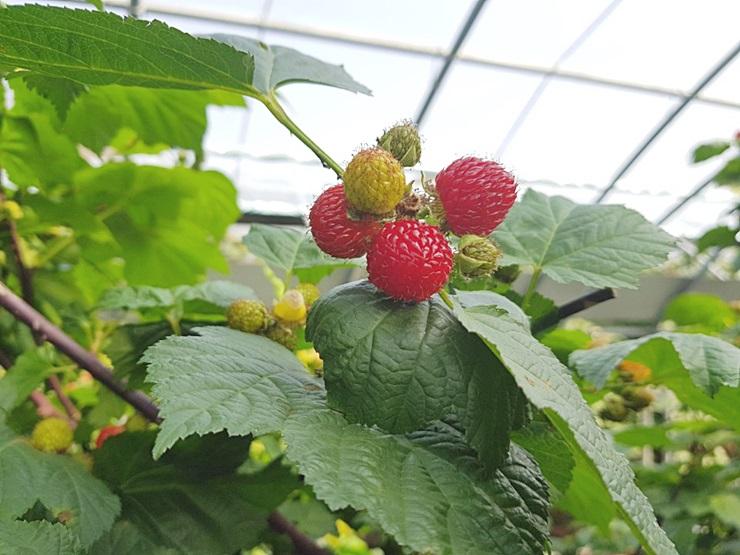 건강함과 맛·영양 사로잡은 산딸기