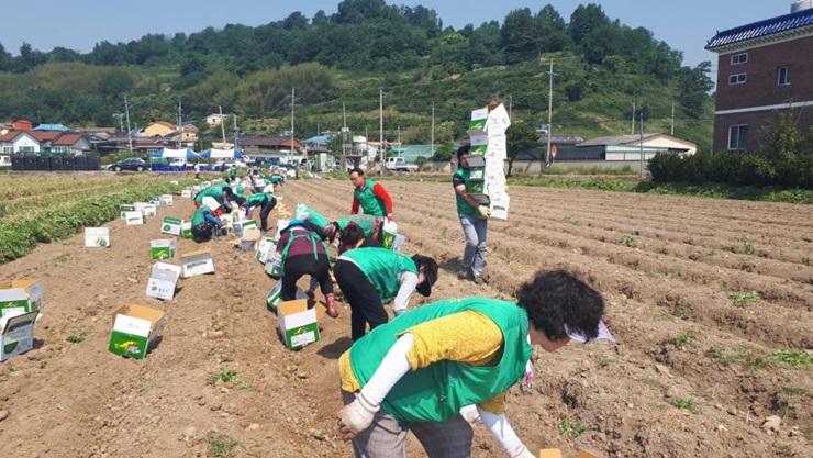 경남 밀양시새마을회, 감자를 수확해 경로당에 전달