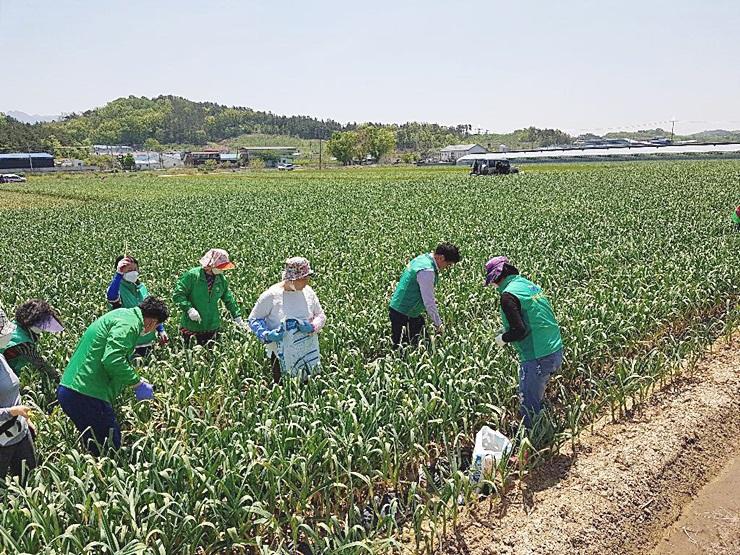 대구 달서구 이곡2동부녀회, 마늘 농가에서 농촌 일손 돕기 활동