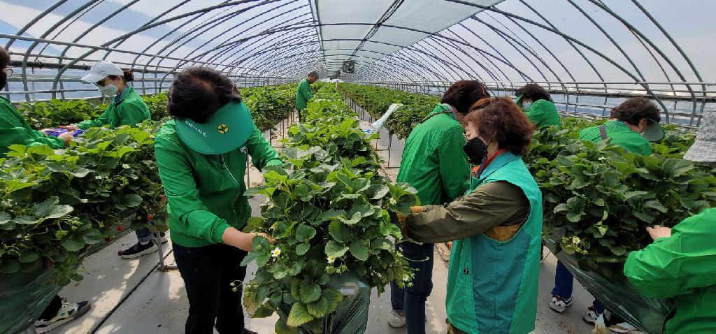 대전 유성구새마을회, 딸기농장 일손돕기