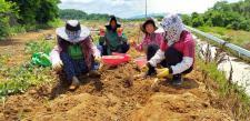 대구 달성군 구지면협의회와 부녀회, 감자 캐기 활동 펼쳐