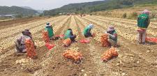 대구 달성군 구지면협의회와 부녀회, 양파 수확 일손돕기 실시