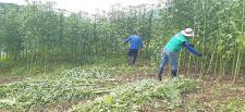 경남 남해군지회, 삼동면 고암마을에 심은 양삼 수확